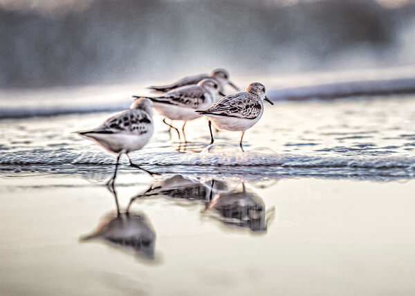 Shore Birds at Topsail Island NC